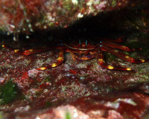 Crabe plat des oursins Percnon Gibbesi ©Cédric PALERME
